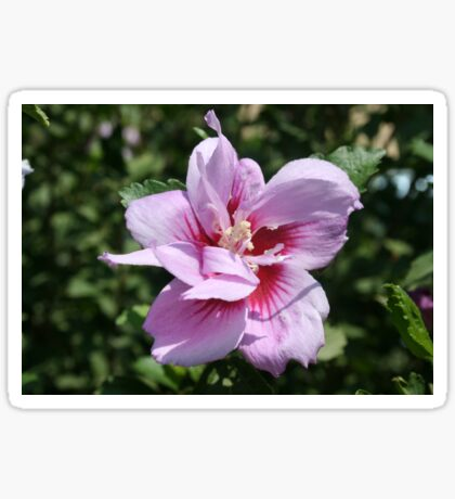 Double Headed Marsh Mallow Althaea Officinalis Sticker