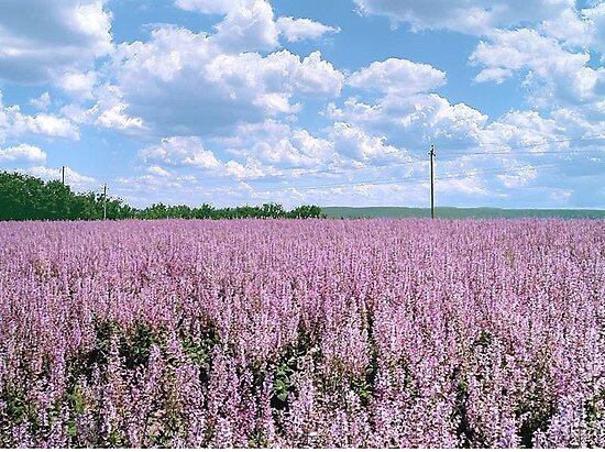 "The big season of a lavender 2. "" The lavender sea"" by kindangel"