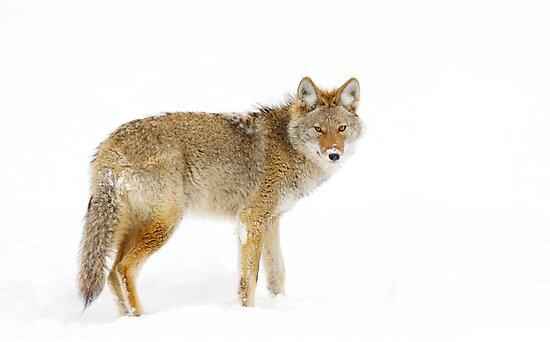 Coyote in Winter by Jim Cumming