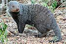 Cape gray mongoose by Elizabeth Kendall