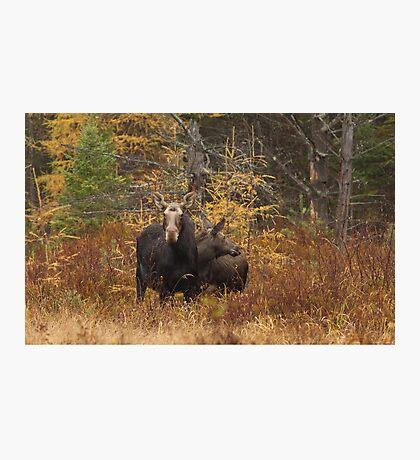 Moose - Algonquin Park, Canada Photographic Print