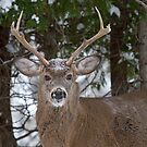 Good morning buck - White-tailed Buck, Ottawa by Jim Cumming