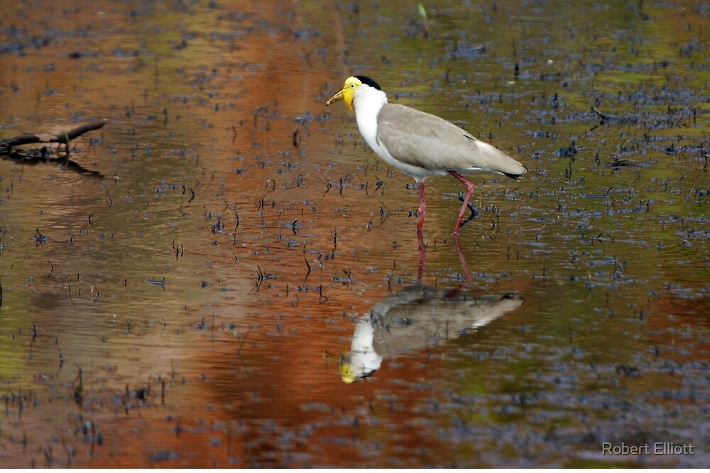 Masked Lapwing ~ Coloured By Nature by Robert Elliott