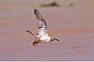 Common Greenshank ~ Flight  by Robert Elliott