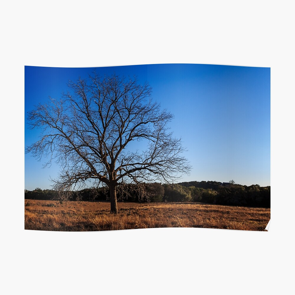 Old Pecan tree Poster