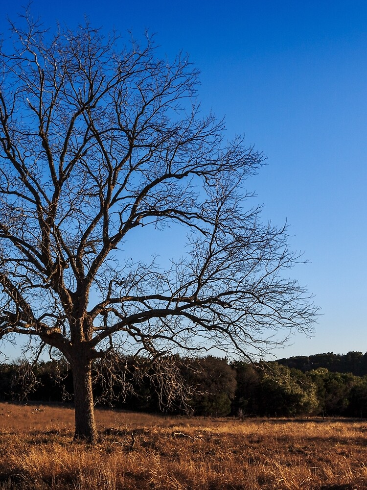Old Pecan tree by colinbes