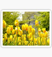 Yellow Tulips Sticker