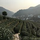 Longjing Tea Fields, Hangzhou, China by Simone Maynard