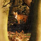 Old Red Fox In The Wood by Nigel Tinlin