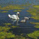 Mute Swan And Cygnets by Nigel Tinlin
