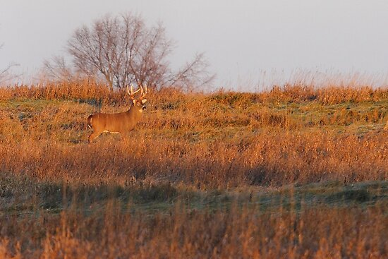 Buck on Hillside - White-tailed deer by Jim Cumming