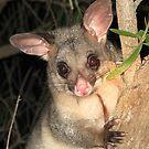 Brush Tailed Possum by Jenny Brice
