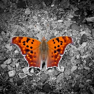 Question Mark Butterfly by hannahsview