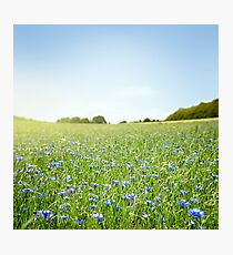 Cornflower field Photographic Print