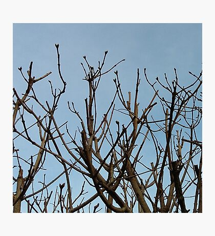 Trees on blue Photographic Print