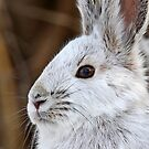 Snowshoe Hare by Jim Cumming