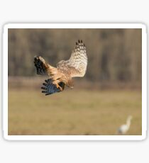 Northern Harrier Dives Sticker