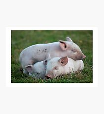 Three White Sleeping Piglets Photographic Print