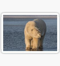 STOCK ~ Polar Bear #4 - Checking Things Out Sticker