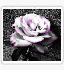 Blushing White Rose Sticker