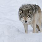 Gray Wolf by (Tallow) Dave  Van de Laar