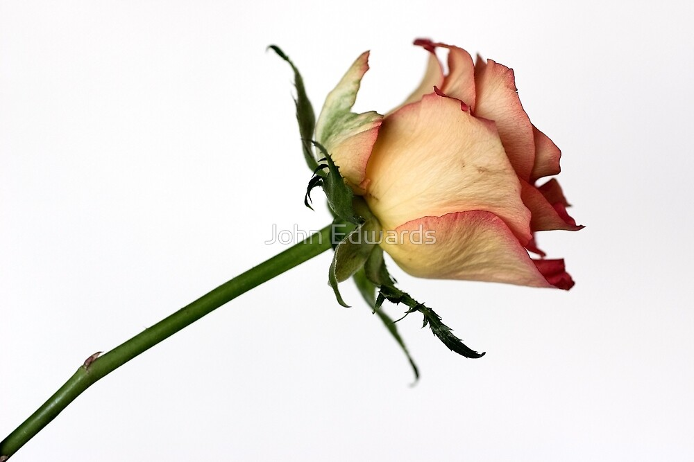 A rose for you by John Edwards