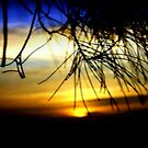 Between the pine Needles by cjcphotography