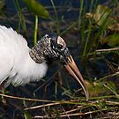 STOCK ~ Woodstork #1  by akaurora