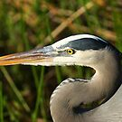 STOCK ~ Great Blue Heron #4 (Head shot) by akaurora