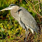 STOCK ~ Great Blue Heron #2 by akaurora