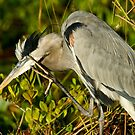 STOCK ~ Great Blue Heron #1 by akaurora