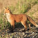 Standing Alone (Red Fox Kit) by akaurora