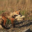Red Fox (Mom) by akaurora