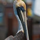 Brown Pelican by akaurora