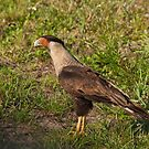 Crested Caracara by akaurora