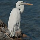 Heron, Great White  by akaurora