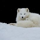 Arctic Fox by (Tallow) Dave  Van de Laar
