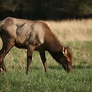 Young Elk by akaurora