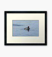 Redhead duck drake swimming in lake Framed Print