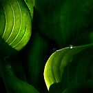 Hostas after the Rain by cclaude