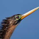 Early Morning Anhinga - Breeding Colors by Kathy Baccari