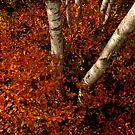 Birches and Red Bushes, OCT 25, 2013 by murrstevens