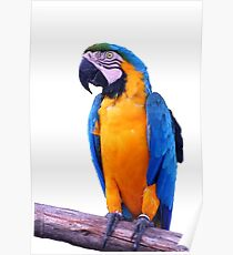 Perroquet Poster