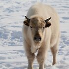 White Bison by Larry Trupp