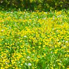 Buttercup Bokeh by PictureNZ