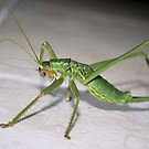 Katydid Bush Cricket by taiche