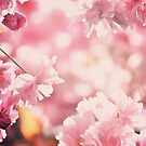 Pink cherry blossom by SarahMinchin