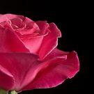 Velvet blush by Jan Clarke