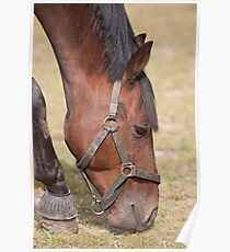 Close up of a Thoroughbred Horse Grazing Poster