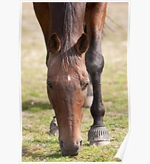 Thoroughbred Horse Grazing Poster